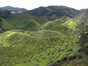 Teeplantagen in den Cameron Highlands im zentralen Hochland Malaysias. Wegen der atemberaubenden Landschaft ist dies einer der Touristenhotspots des Landes.